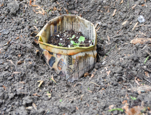 Starting seeds in newspaper pots